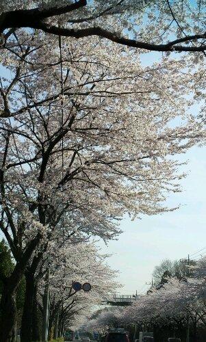 桜、最高の見頃
